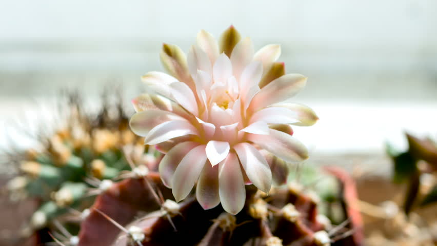 Cactus flower opening time lapse in sunny day. Sun illuminates a flowering cactus. Blooming Cactus in Full HD