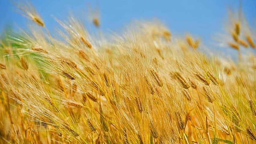 Barley or wheat field on windy day. | Shutterstock HD Video #30533368