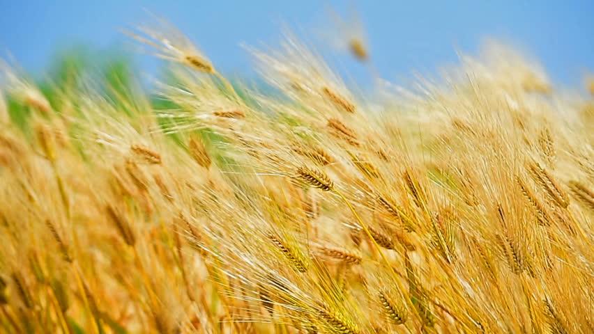 Barley or wheat field on windy day. | Shutterstock HD Video #30533371