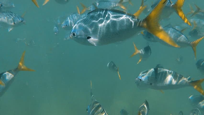 A wide shot of zebra skinned fish underwater #30539422