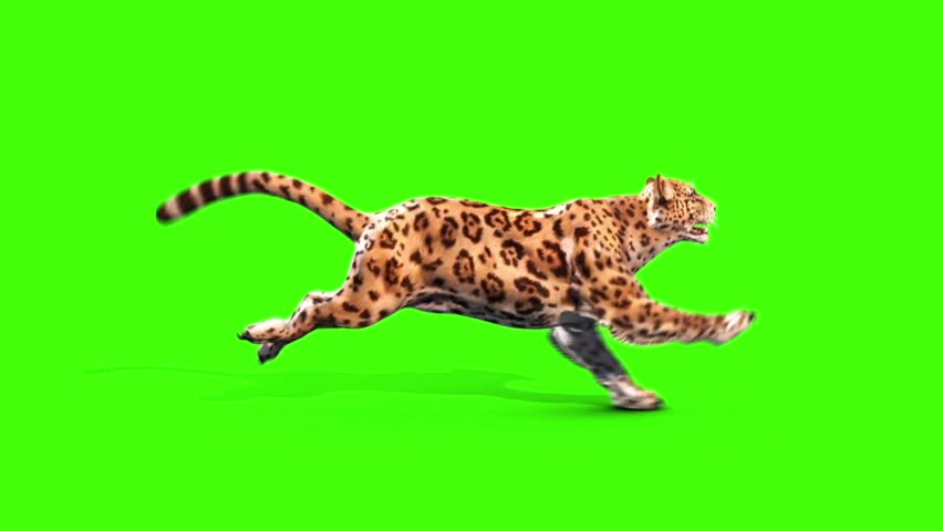 Jaguar Feline Runcycle Side Green Screen Animals 3D Rendering Animation
