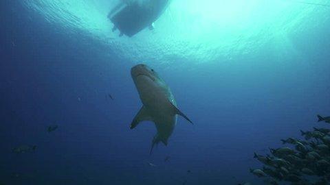 Tiger shark on a coral reef in Tahiti