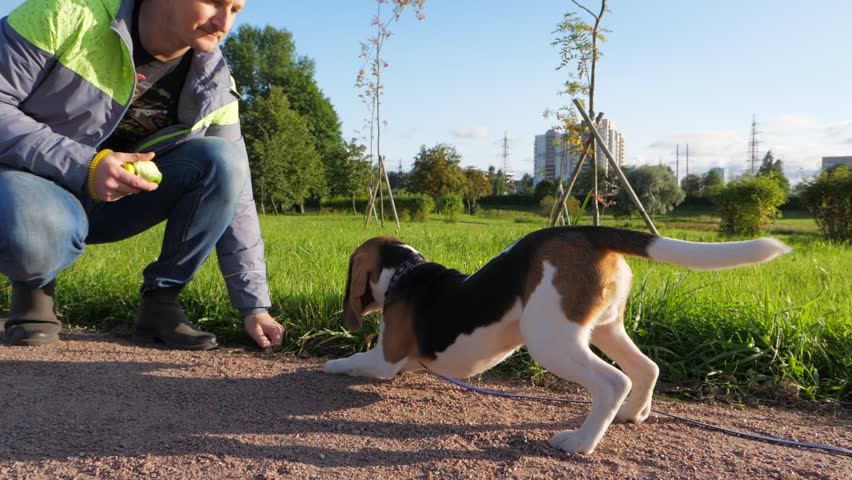 Young obedient beagle do well down command, receive piece of apple as reinforcement, slow motion shot. Training of small dog at park, owner man give order and put hand down to ground, doggy follow