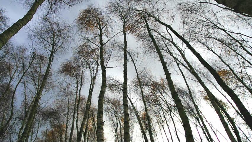 birch trees in heavy storm