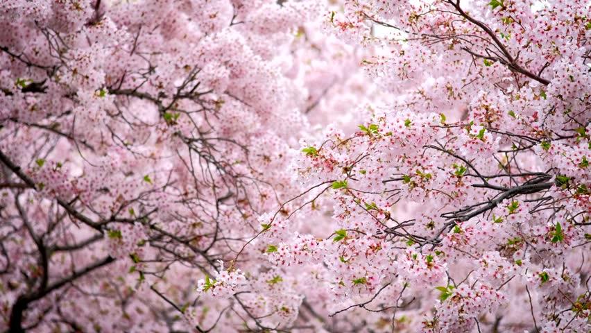 Blooming Sakura Cherry Blossom Background Stock Footage ...