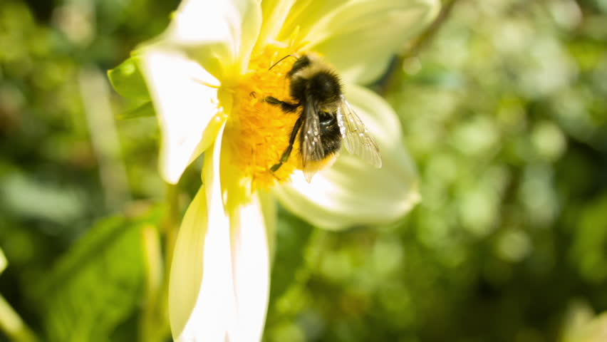Camera pans down from a house to a Bumble bee landing on a flower in a garden   Shutterstock HD Video #30645496