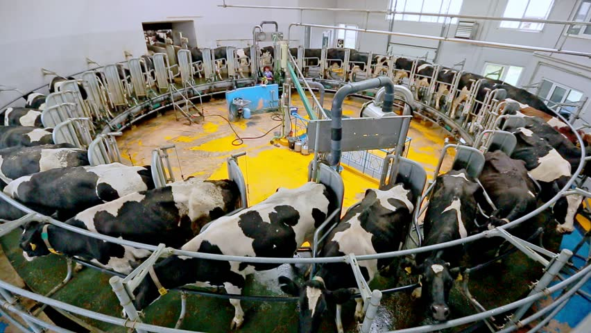 Process milking cows. Dairy cows on milking machine. Automated equipment for milking cows on dairy farm. Dairy cows at dairy factory. Cow milking on modern farm