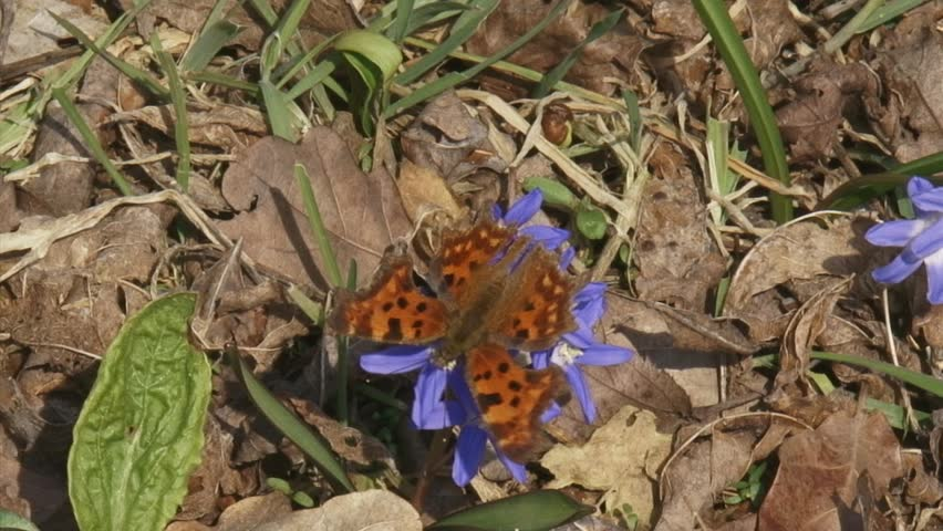 Glory-of-the-snow (chionodoxa) with Comma butterfly (Polygonia c-album) and honeybee
