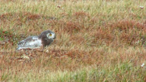 MS TS SELECTIVE FOCUS Snowy Owlet (Bubo scandiacus) walking in steppe