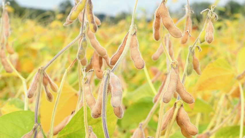 Close up of ripe soybean pods growing in a field | Shutterstock HD Video #30676156