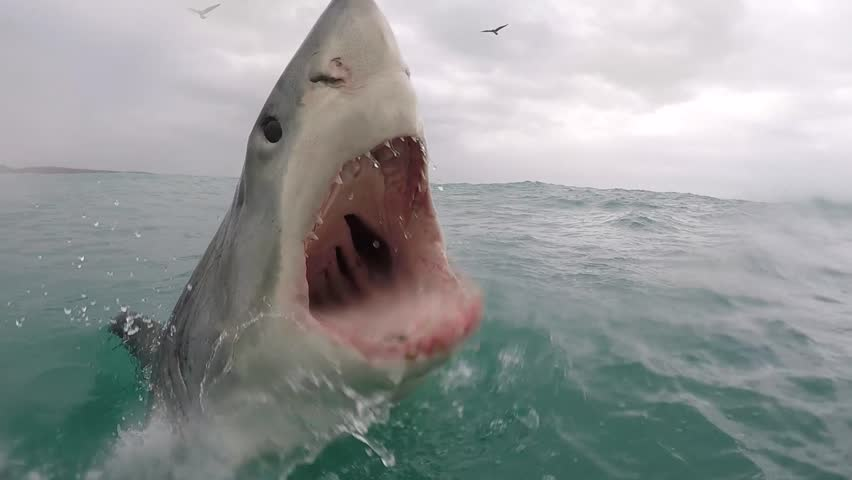 Great white shark breaches with mouth wide open showing all the way down her throat