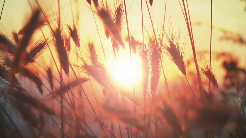 sunset grass slow motion #30855331