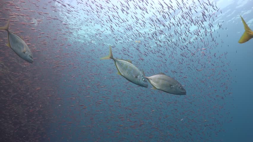 Big fish in the team hunts for a flock of small Sail Rock/Gulf of Siam/Thailand