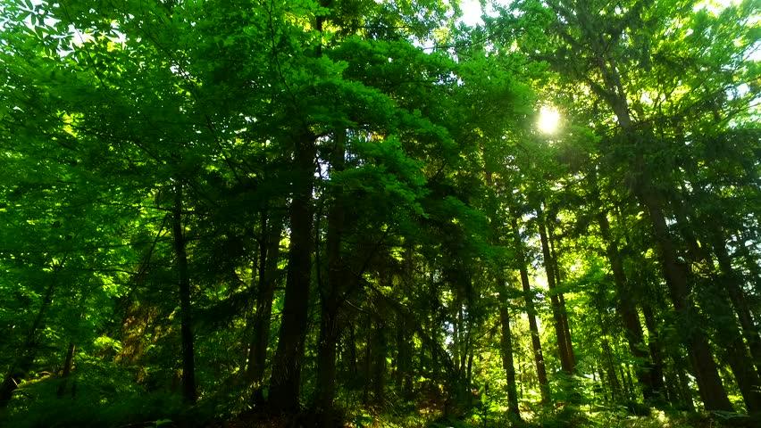 Intensive sun rays through dense forest green crowns on a summer hot day. | Shutterstock HD Video #30892417