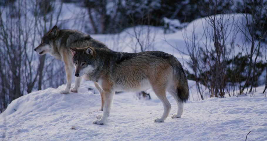 Wolf howling a cold winter night in the forest