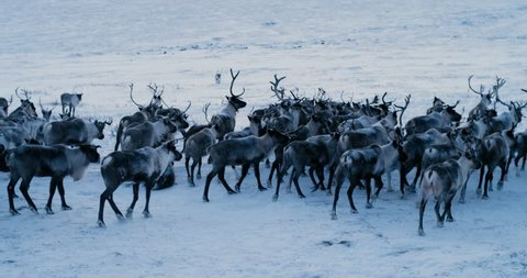 Aerial view of herd of reindeer, which ran on snow in tundra. Red Epic. Slow motion. 4k