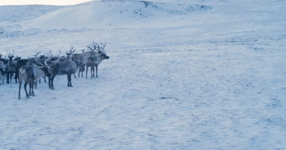 Aerial view of herd of reindeer. Red Epic. Slow motion. 4k.