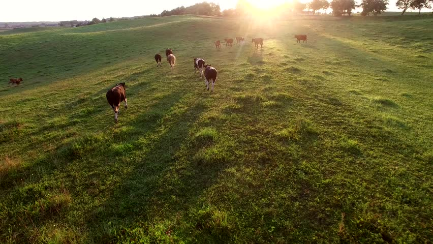 Aerial Herd of Cows Running on Pasture at Sunrise #31031314
