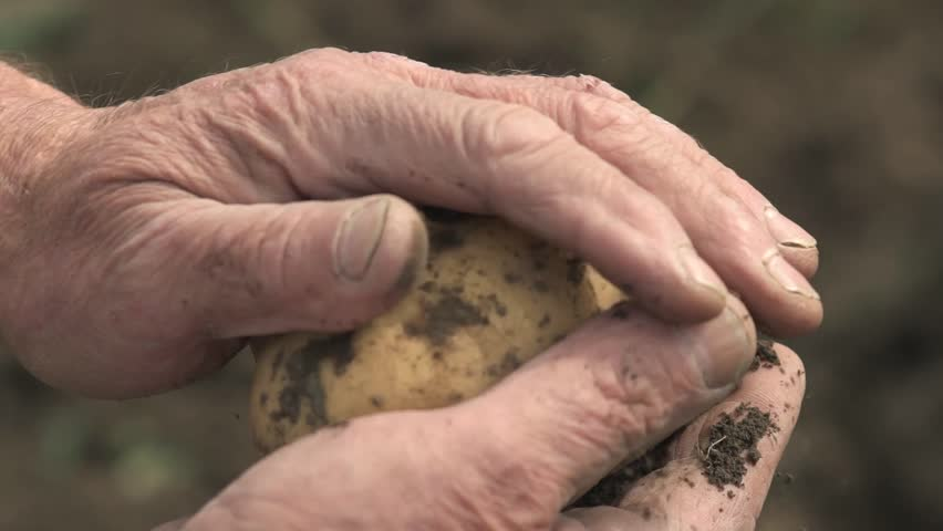 The farmer is holding a biological product of potatoes, hands and potatoes stained with earth. Concept biology, bio products, bio ecology, grow vegetables, vegetarians, natural clean, fresh product.