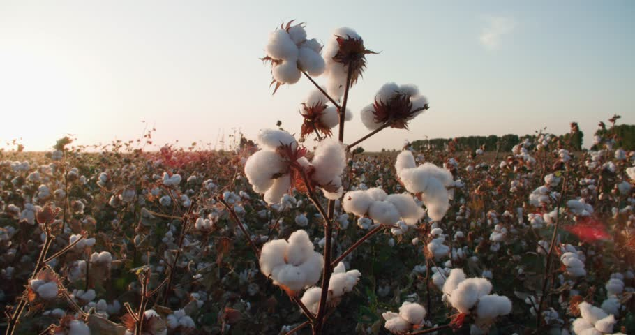 the highest quality cotton growing on the field Bush with lots of cotton bolls, ready for harvest
