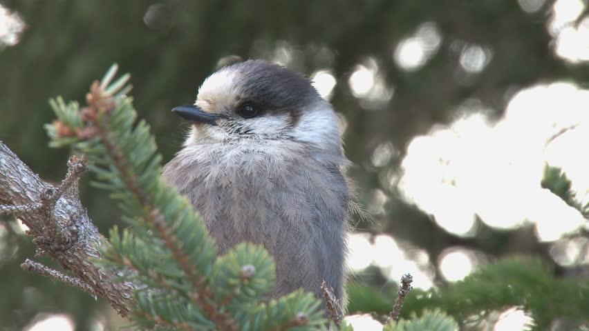 Grey jay in a spruce tree.   Shutterstock HD Video #3110101