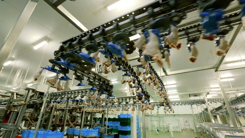 Conveyor Poultry Processing modern Plant. chicken meat. Chicken factory line