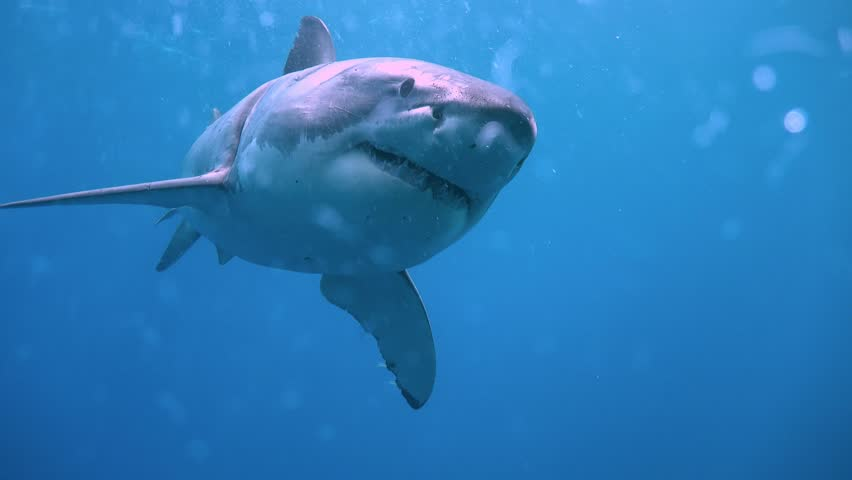 Fascinating underwater diving with great white sharks off the island of Guadalupe. Of the Pacific ocean. Mexico.