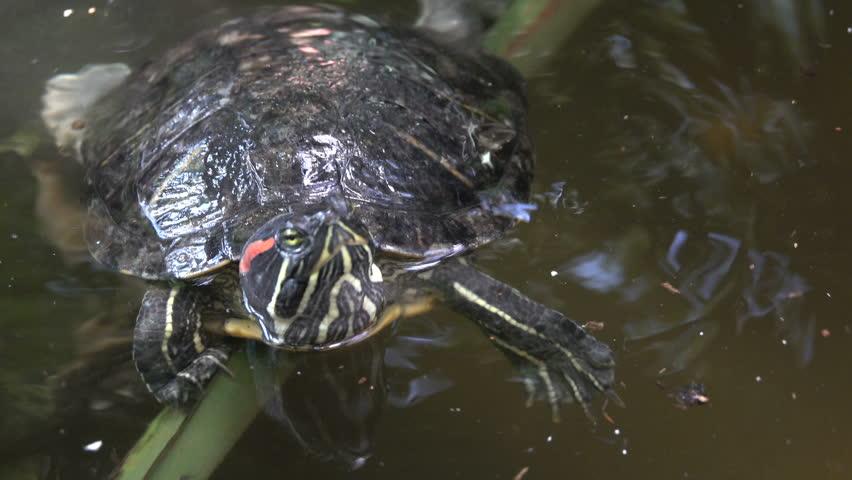 River turtle closeup swings on a branch in the water | Shutterstock HD Video #31149235