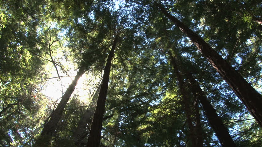 Top of the redwoods slow spin | Shutterstock HD Video #31168126