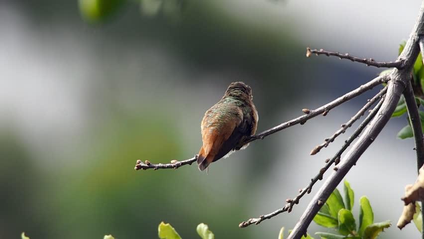 Header of Allen's Hummingbird
