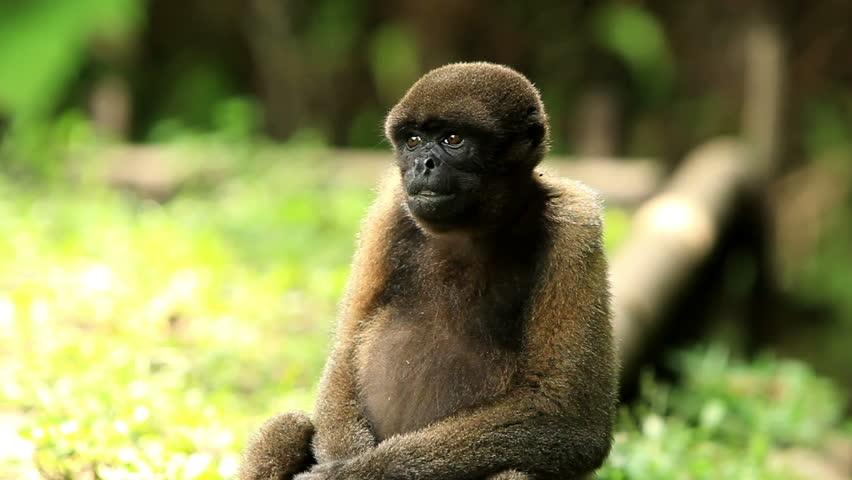 woolly monkey fooling around , Ecuadorian Amazonia