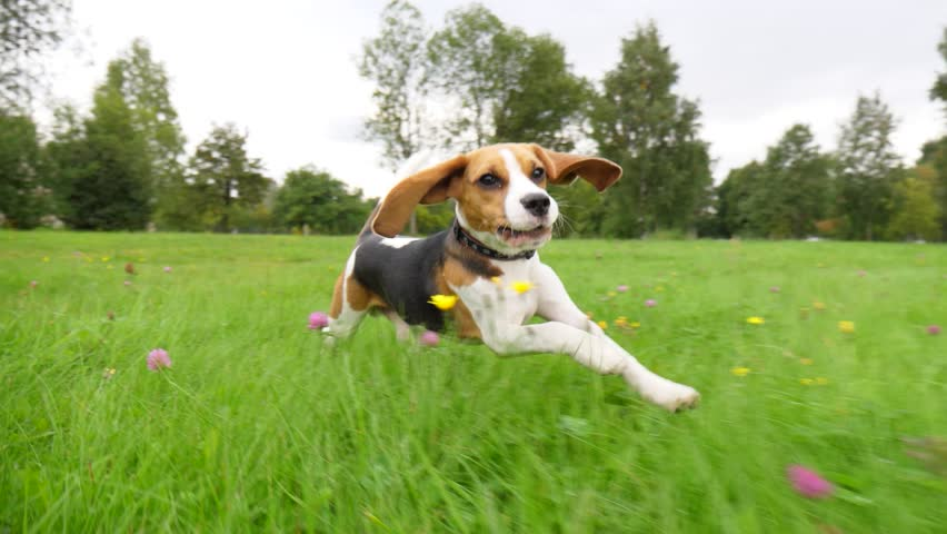 Cute and funny beagle puppy run by grass field, chase moving camera, slow motion shot. Young dog happy rush after, long ears fly in air, look straight to camera.