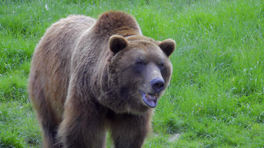 Bear is looking around and smell food  #31244185