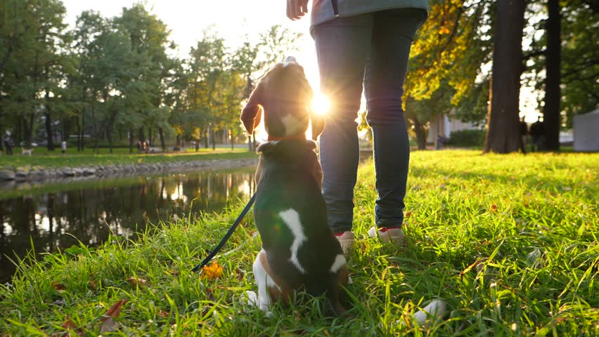 Obedient young beagle stand up and follow owner, walk near and behind, sunny evening park area, beautiful environment. Slow motion shot, dolly camera follow lovely pair