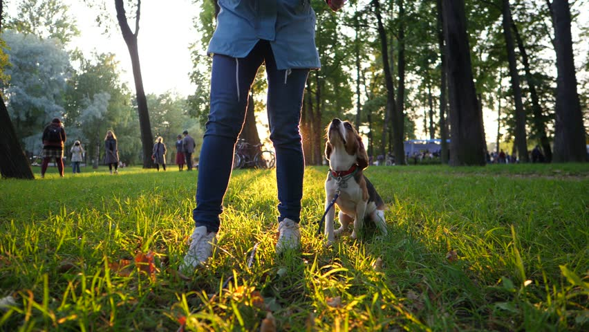 Woman give wait command to young beagle dog, then come forward, call doggy to heel and give snack for well behavioured order. Training at evening park, beautiful sun shine behind, slow motion shot