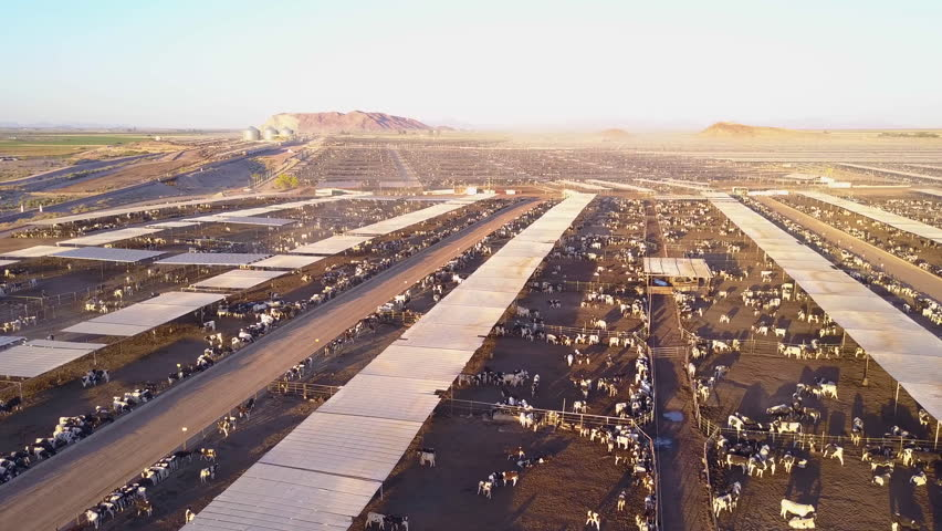 CIRCA 2010s - American West - An aerial over vast stockyards of bef cattle in the American west.