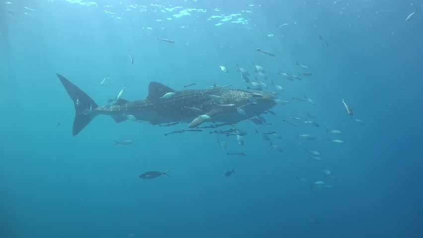 Whale Shark regurgitates food pieces. Remora around her pounces on food. Shark passes very close to the camera Sail Rock / Koh Phangan / Thailand | Shutterstock HD Video #31384711