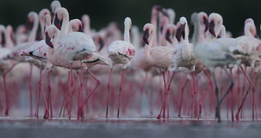 Lesser Flamingos, Bagoria Lake, kenya, slow motion video