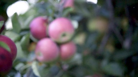 Tight shot to the left of a cluster of ripe apples on a tree in an orchard ready for