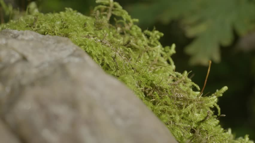 Beautiful green moss in the sunlight. Moss grows on the tree, beautiful background of moss. Leaf on Moss, autumn, forest, Nature,Wildlife