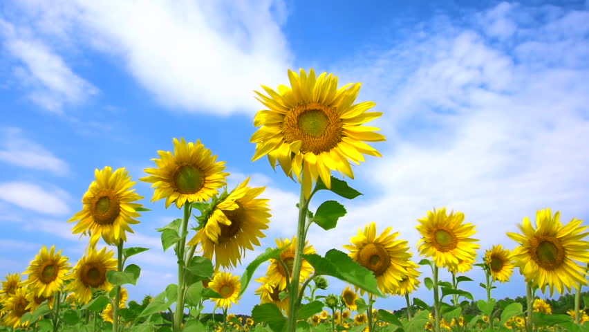 Slow motion dance of a sunflower field. Yellow sunflowers swaying on a wind.   Shutterstock HD Video #31432573