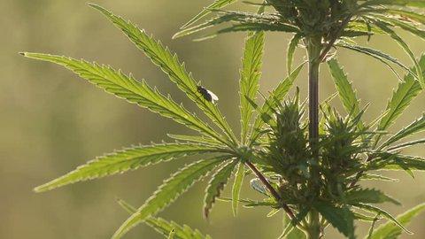 Катманду марихуана что такое автоцветущие семена конопляные