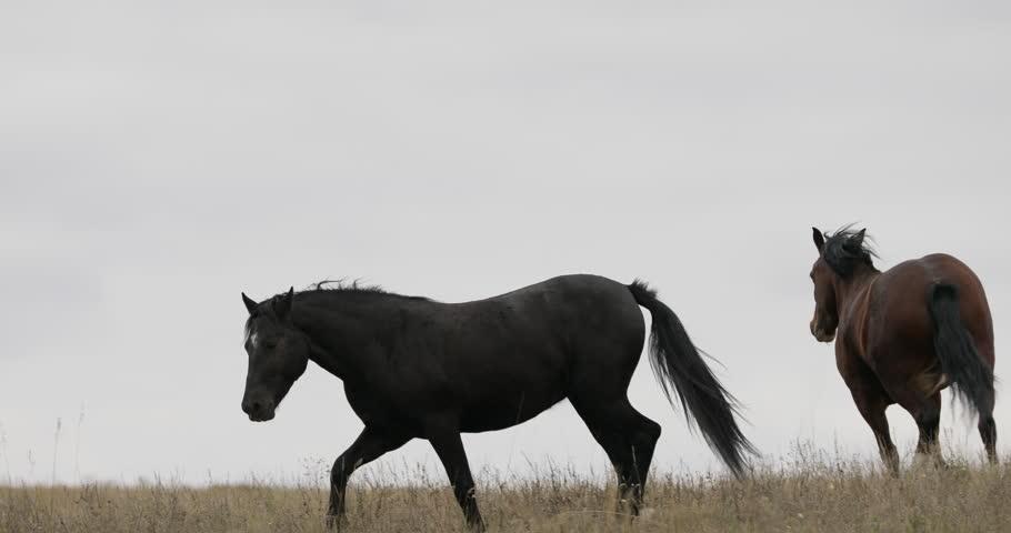 Wild brown horses on the field running gallop | Shutterstock HD Video #31474759