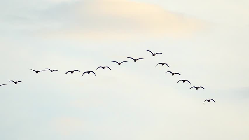 Graceful Flock of Geese Flying in Slow Motion
