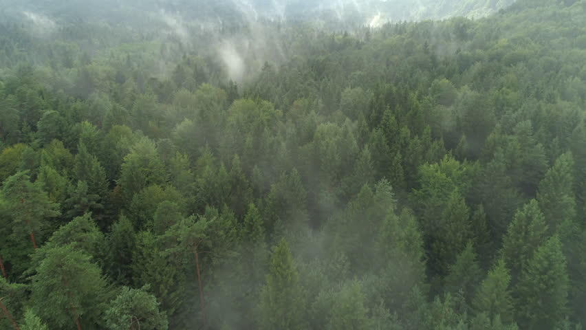 AERIAL: Flying above foggy pine forest treetops. Thick misty clouds rising from lush spruce forest on cold morning day. Creepy fog and mist wrapping green pine forest in early autumn morning.
