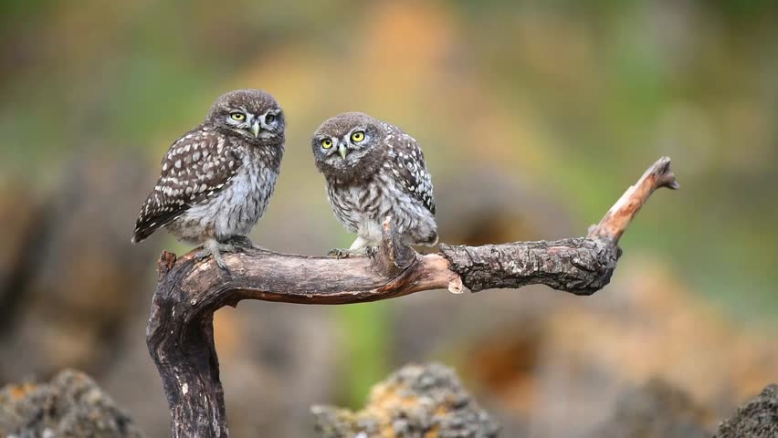 Two little owls on a stick.  Athene noctua
