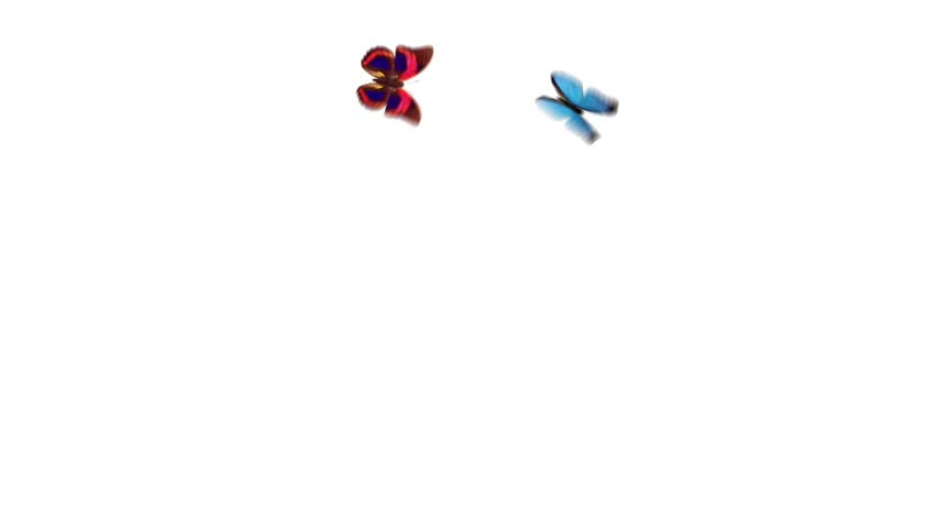 two beautiful butterflies flying around with an alpha channel on a white background