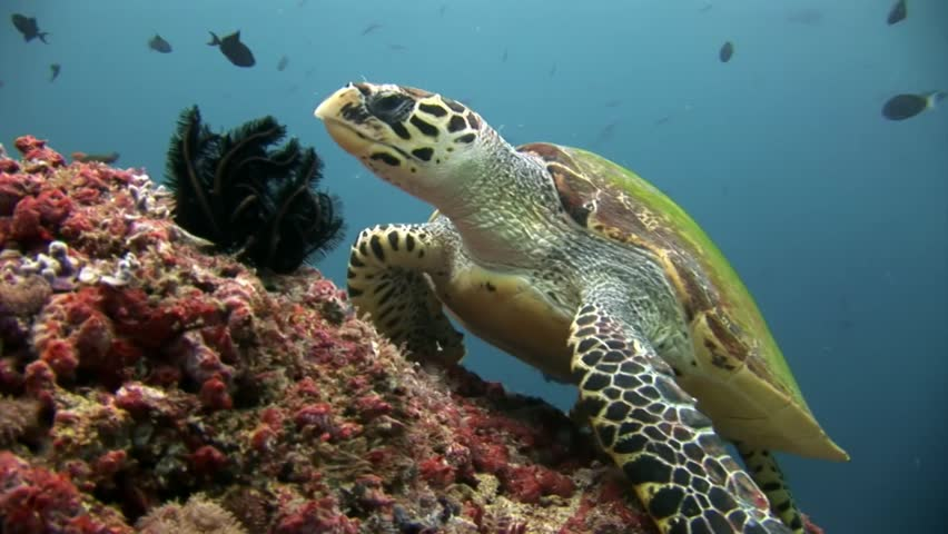 Green sea turtle on clean clear seabed underwater in Maldives. Beautiful marine background. Swimming in world of colorful wildlife of corals reefs. Abyssal relax diving.