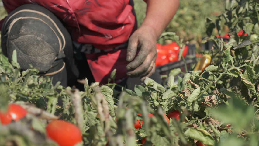 Farmer'hands picking tomatoes- Harvesting Tomatoes- Calabria, South of Italy