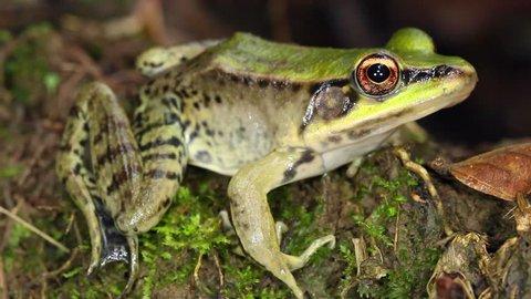 Neotropical green frog (Lithobates palmipes)